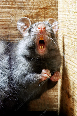 Black rat threatening with teeth bared