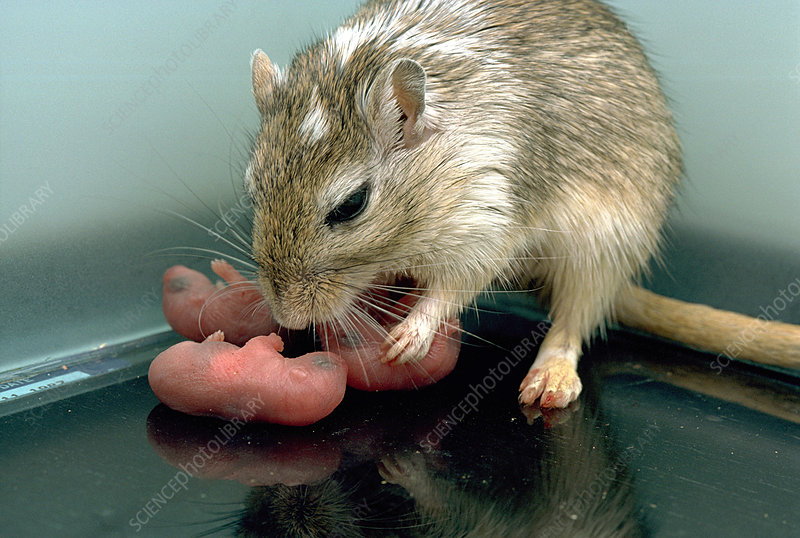 Gerbil with newborns