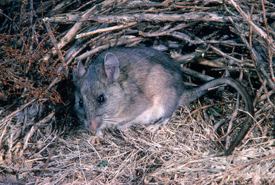 Dusky-footed wood rat