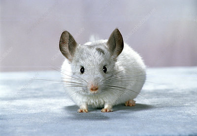 Young white mosaic Chinchilla