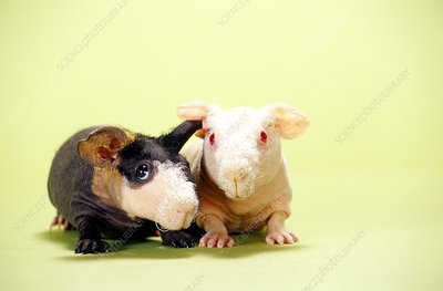 Hairless Guinea Pigs