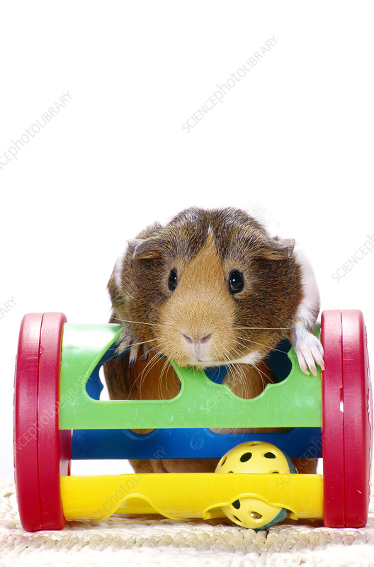 Smooth-coated Guinea Pig