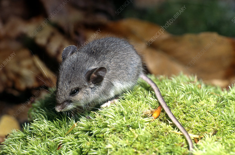 Juvenile White-footed Mouse