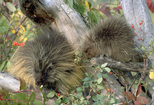 Porcupine adult with young