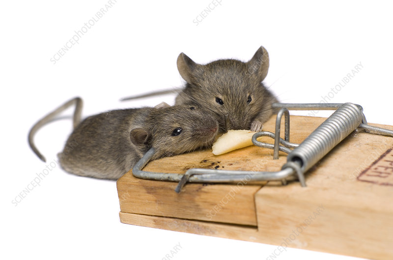 Mice caught in a trap