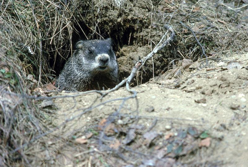 Groundhog peeking out of burrow