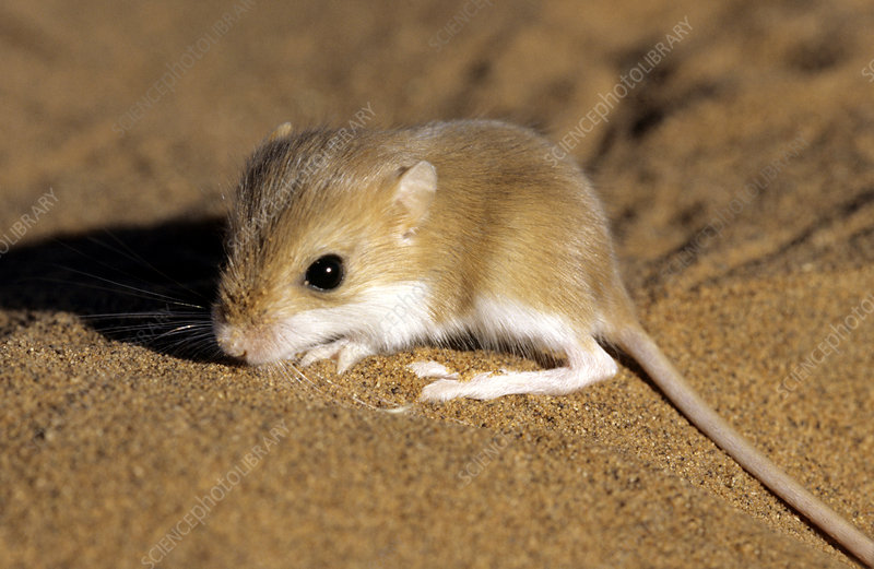 Hairy-footed gerbil