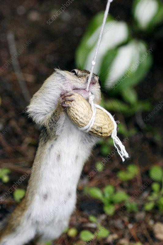 Chipmunk feeding