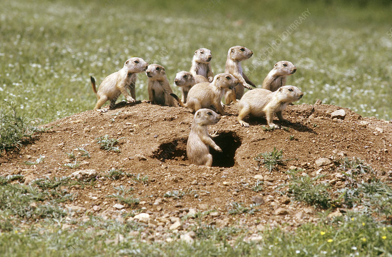 Blacktail Prairie Dog pups on crater
