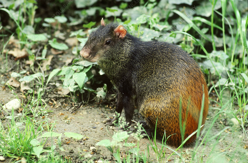 Orange-rumped Agouti (Dasyprocta leporina)