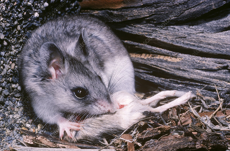 Grasshopper Mouse eating a Pocket Mouse