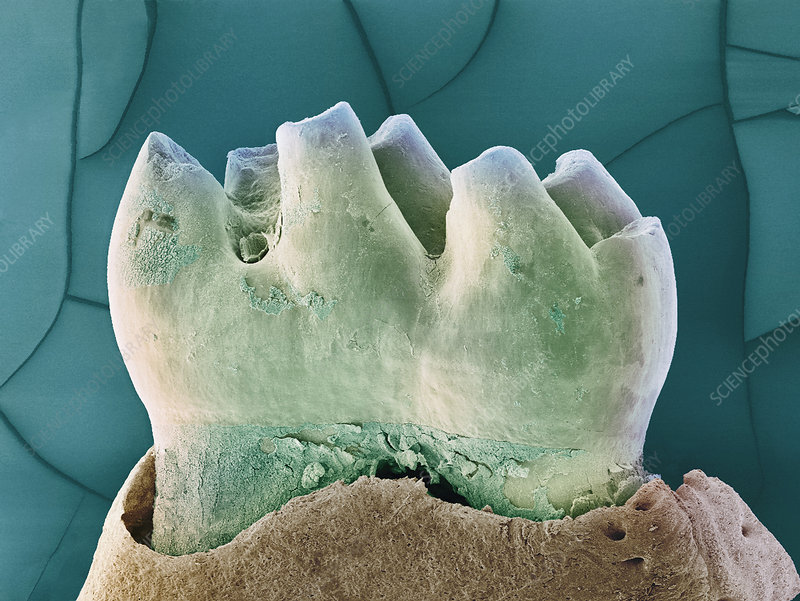 Mouse tooth, SEM