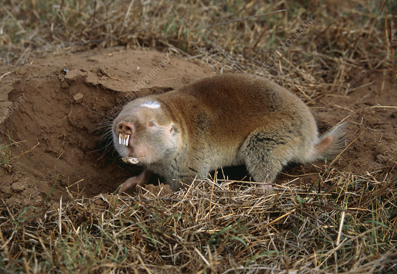 Cape mole rat