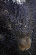 North African Crested Porcupine
