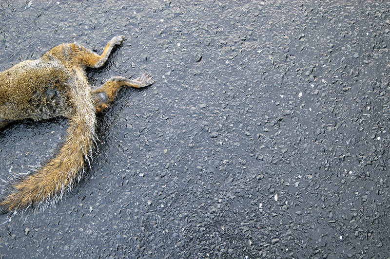 Dead grey squirrel