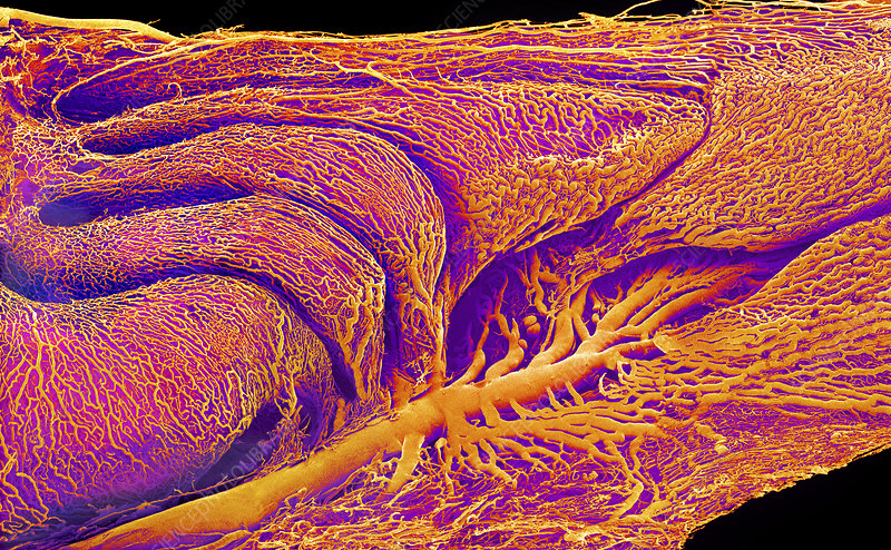 Rat's nose and blood vessels, SEM