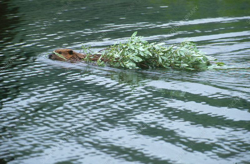 Beaver Swimming with Branches