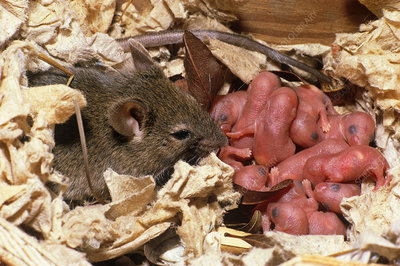 House Mouse with Young