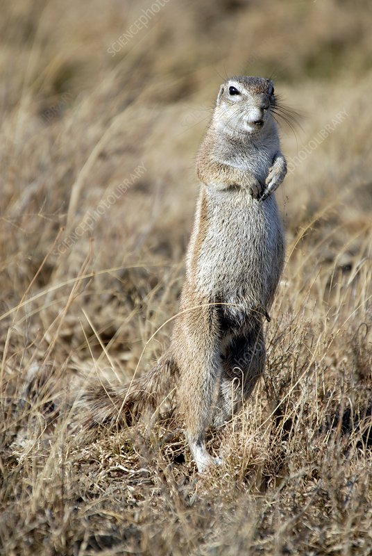 Cape ground squirrel giving alarm call