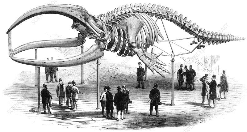 Engraving of the skeleton of a bow head whale
