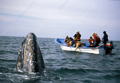 Whale watchers view Gray whale