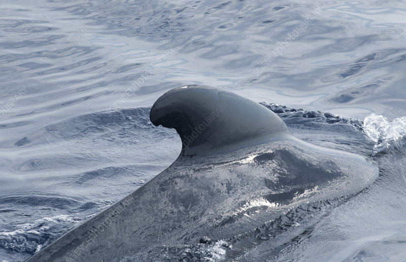 Long-finned pilot whale's fin