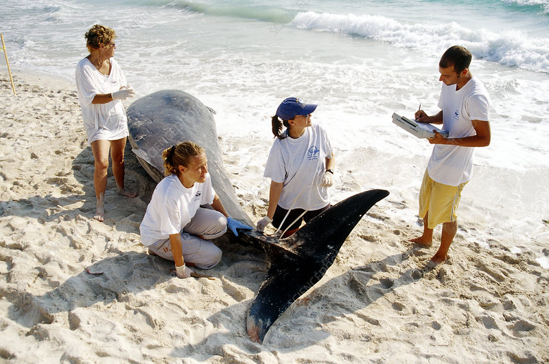 Autopsy performed on dead whale, FL