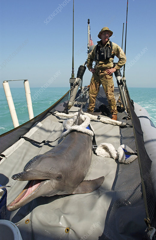 US Navy bottlenose dolphin