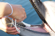 Dolphin having teeth cleaned