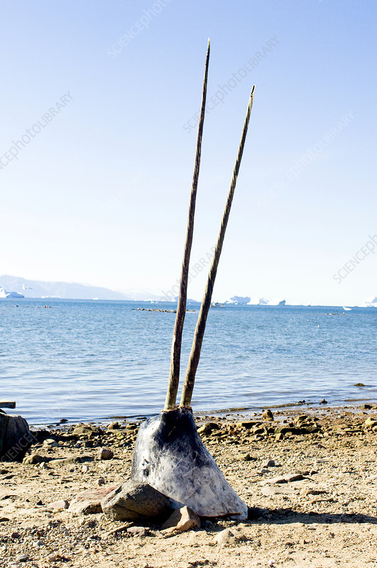 Double-tusked narwhal head on beach