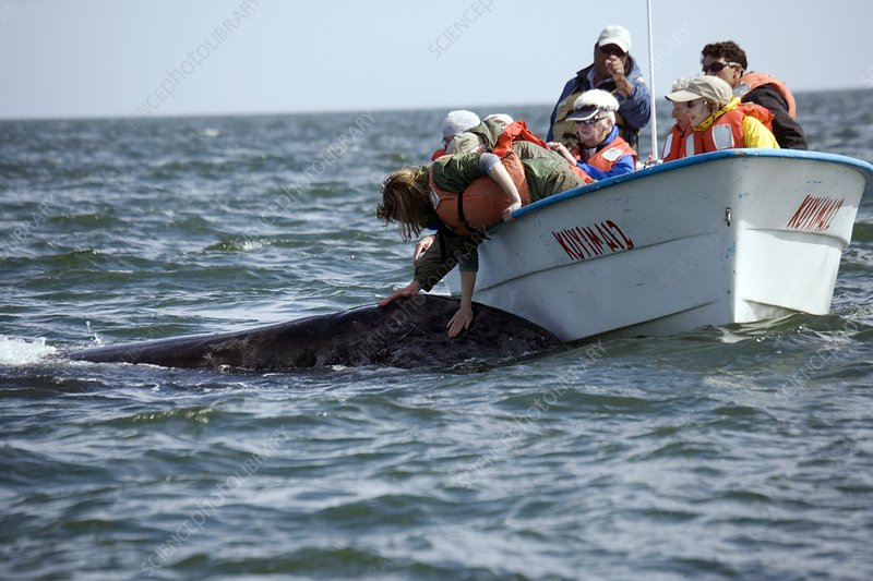 Grey whale approaching tourists
