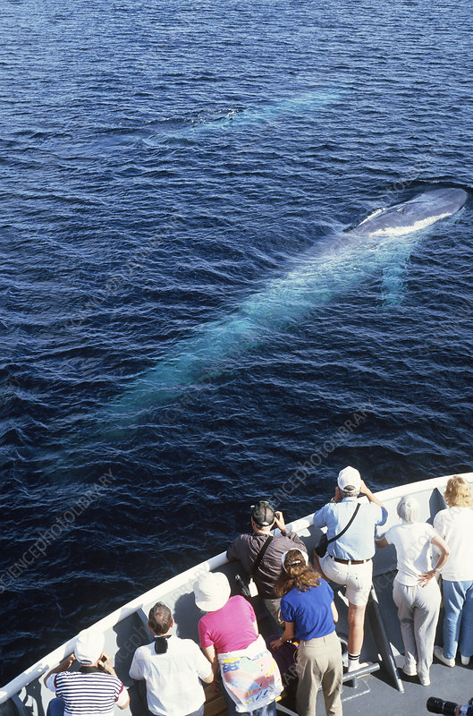 Whale Watchers and Blue Whales