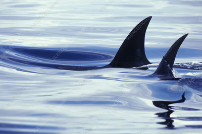 Dorsal fins of Killer Whales (Orcinus orcas)