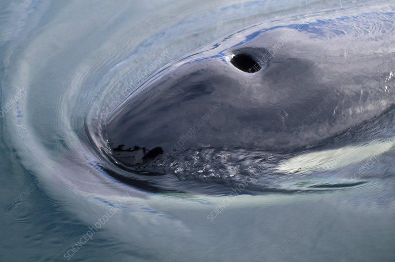 Blowhole of a Killer Whale (Orcinus orcas)
