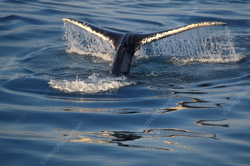 Humpback Whale's fluke