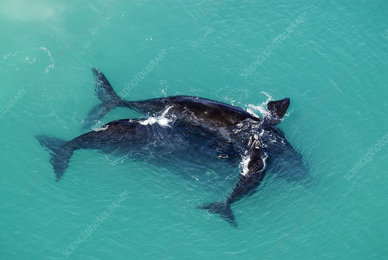 Southern right whale mating pair and calf