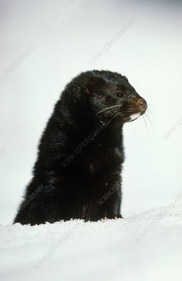 View of an American mink, Mustela vison, in snow