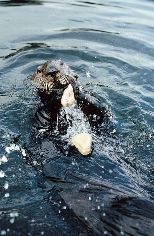 Sea otter (Enhydra lutris) cracking open a clam