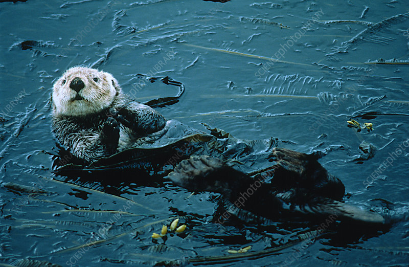 Sea otter (Enhydra lutris) in bull kelp bed