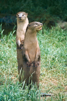 Smooth Indian otter
