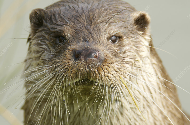 Photo library caption european otter lutra lutra european otters are