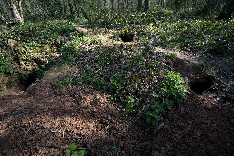 Badger sett