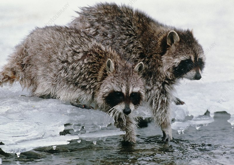 Raccoons washing