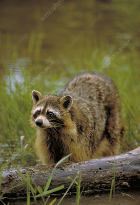 Racoon hunting for food along a stream