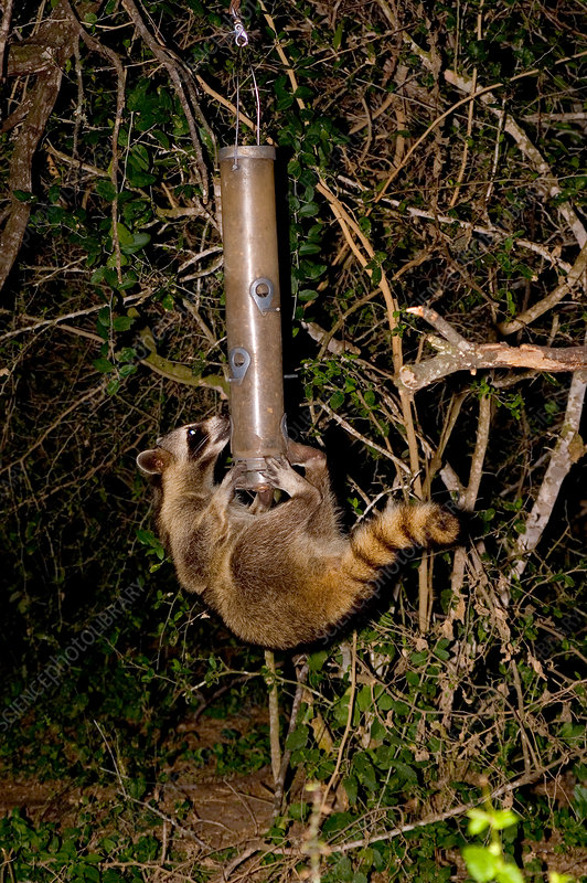 Raccoon raiding bird feeder
