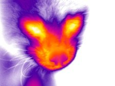 Red panda, thermogram