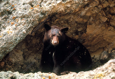 View of a black bear in a cave on a cliffside