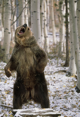 View of a brown bear standing and growling