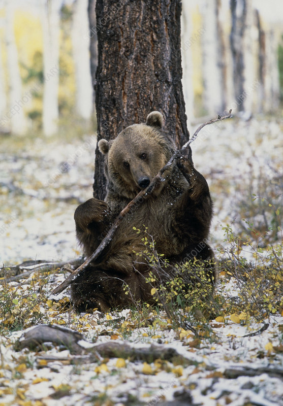View of a brown bear gnawing on a branch