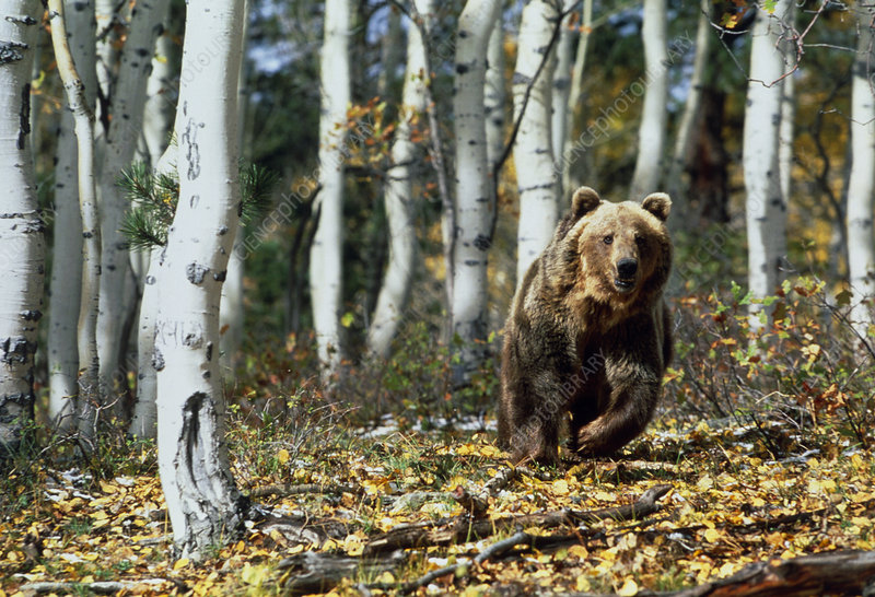 View of a brown bear moving through forest
